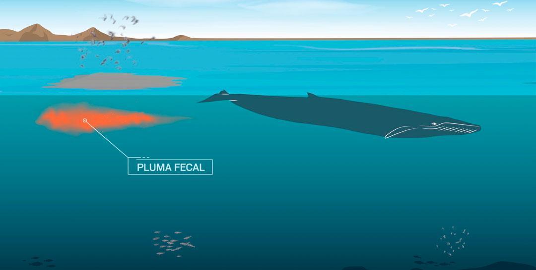 Estudiar-fecas-de-ballenas-pluma-fecal