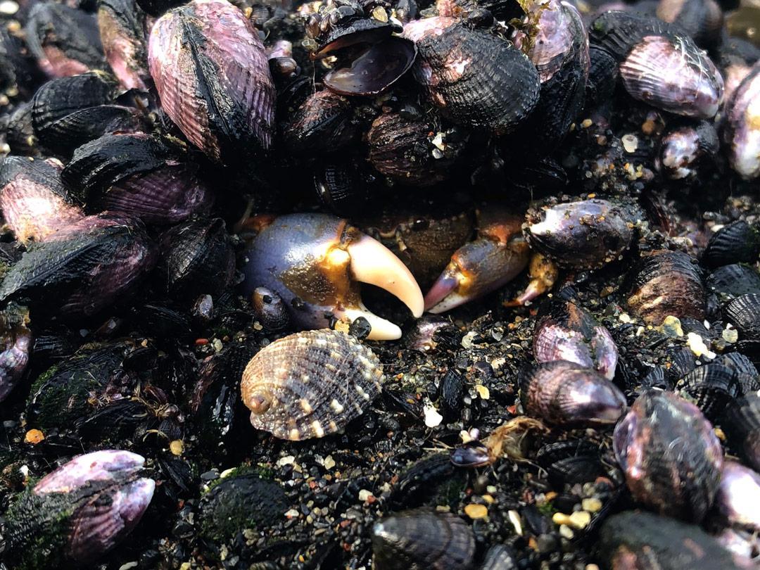 Choritos-depredadores-estresores-ambientales-3