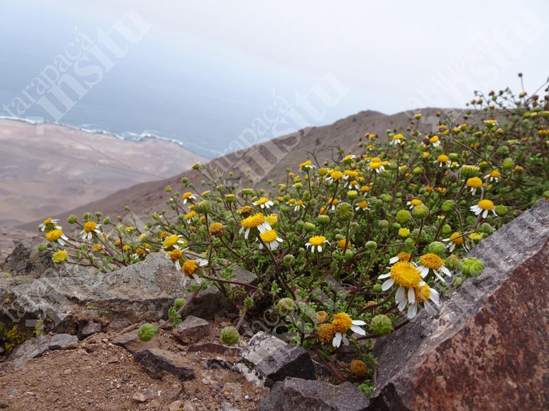 Flora-costera-de-tarapaca-Perityle-emoryi