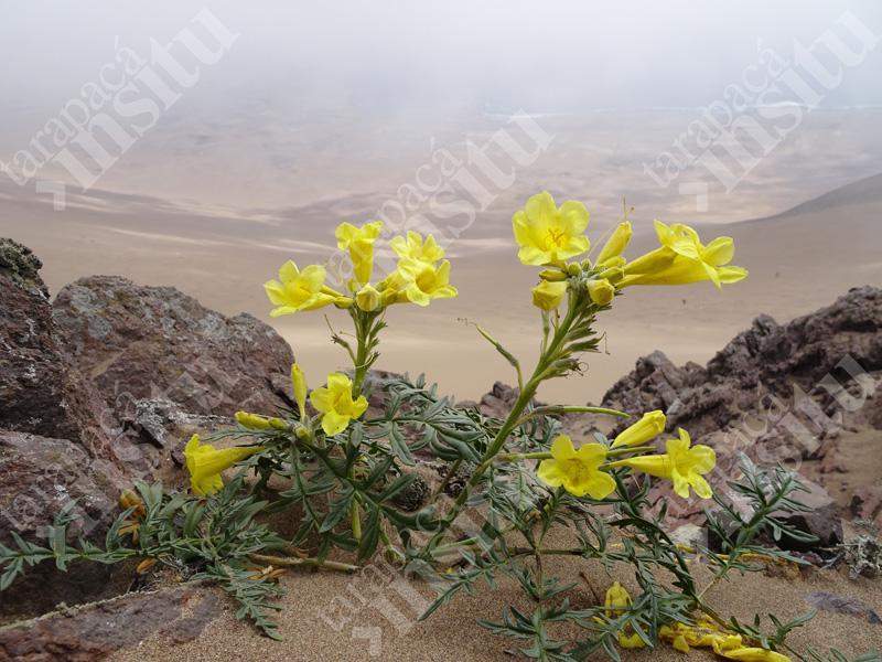 Flora-costera-de-tarapaca-Argylia-radiata
