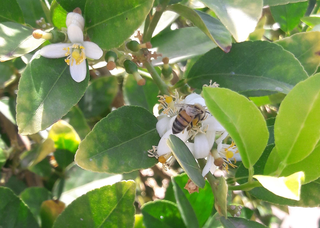 abeja pica 1 web