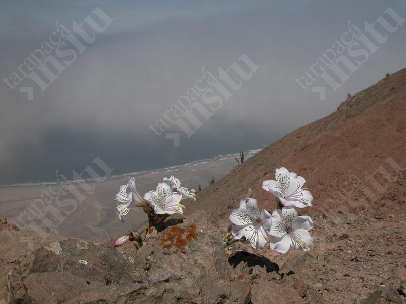 Flora-costera-de-tarapaca-Alstroemeria,-Chipana-2002