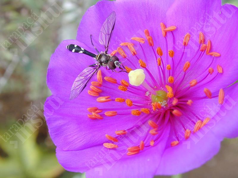 Flora-costera-de-tarapaca-Cistanthe