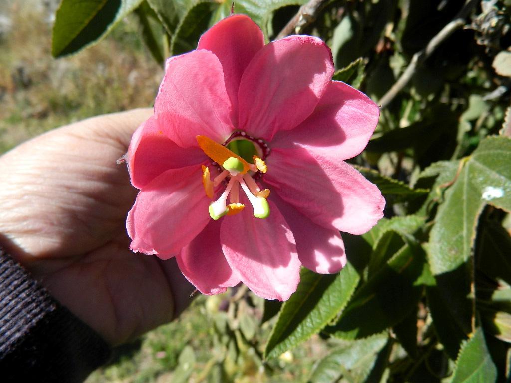 Flor de Tumbo